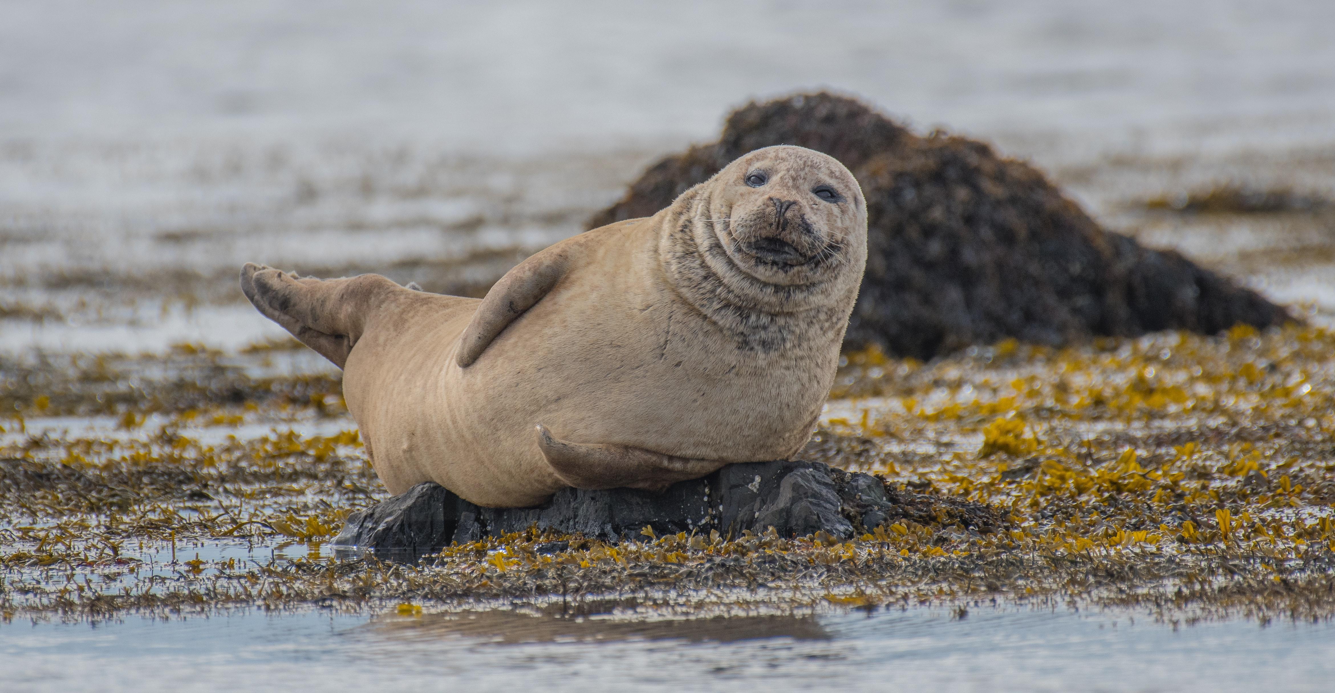 Chubby seal on a beach