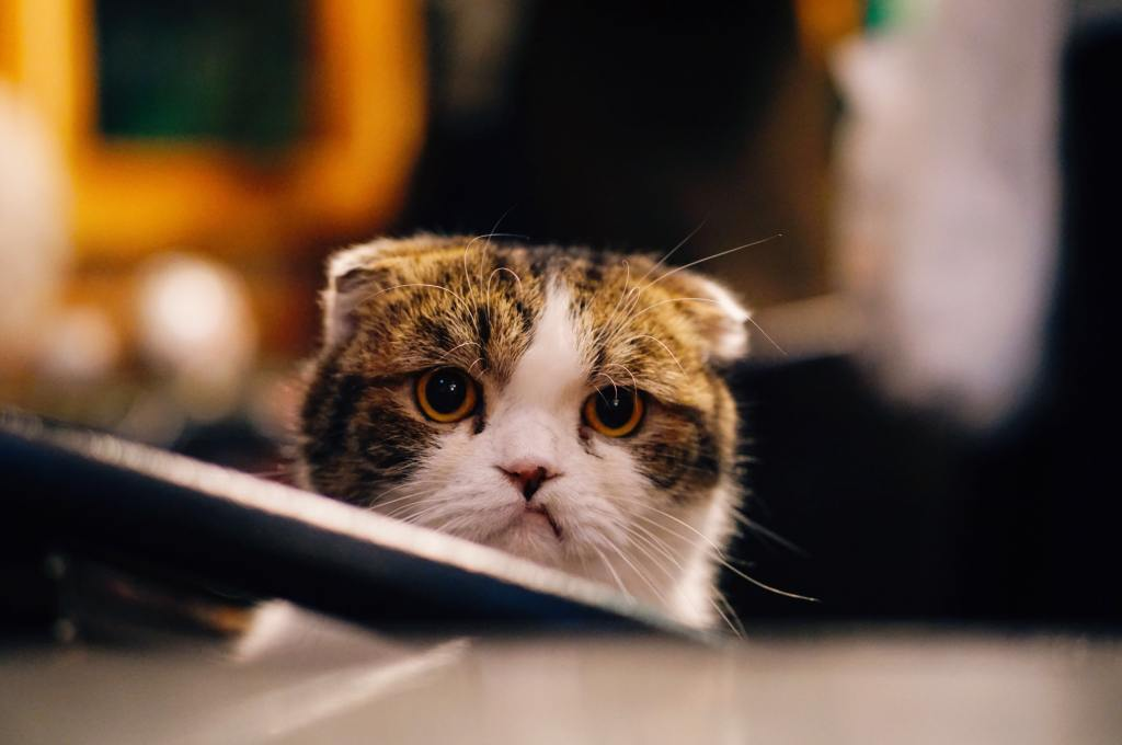 Sad, short-eared cat