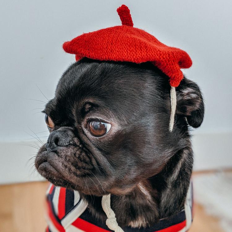 pug in a beret